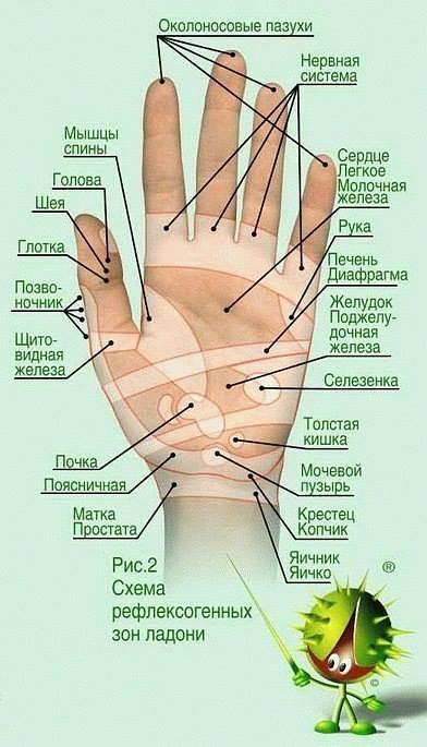 453С каким органом связаны пальцы рук
