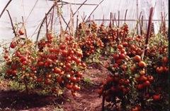 tomato_11